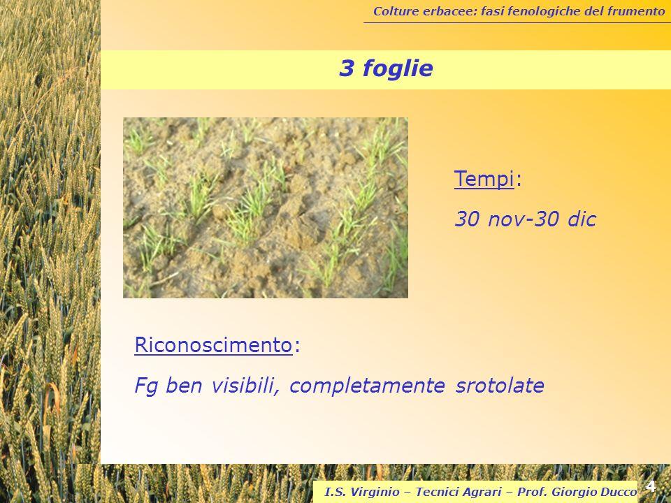 Colture erbacee: fasi fenologiche del frumento 4 I.S. Virginio – Tecnici Agrari – Prof. Giorgio Ducco 3 foglie Riconoscimento: Fg ben visibili, comple