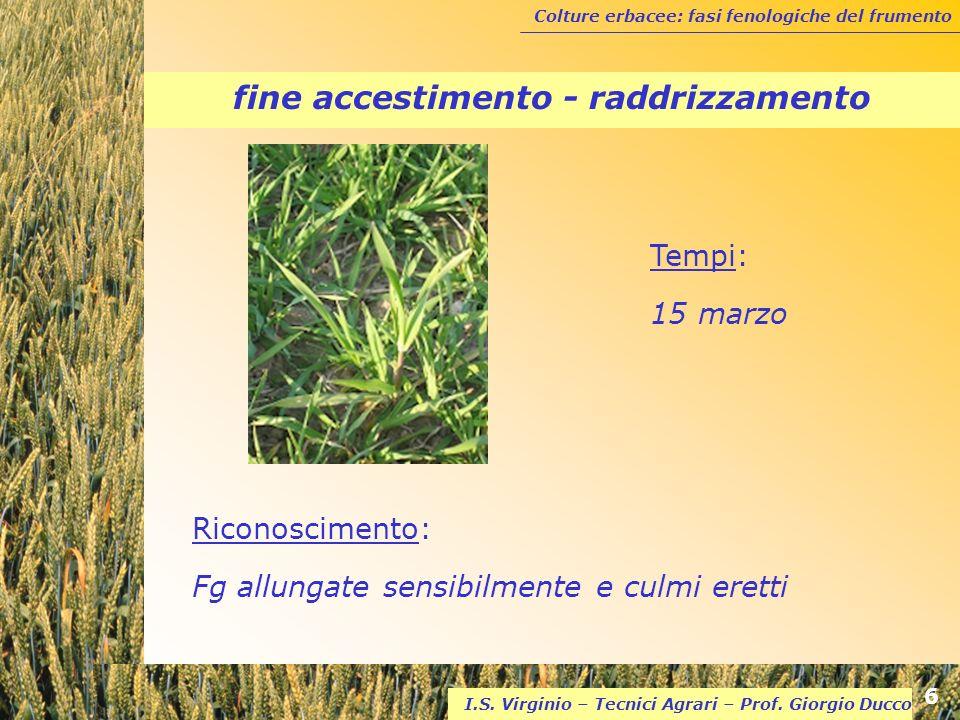Colture erbacee: fasi fenologiche del frumento 6 I.S. Virginio – Tecnici Agrari – Prof. Giorgio Ducco fine accestimento - raddrizzamento Riconosciment