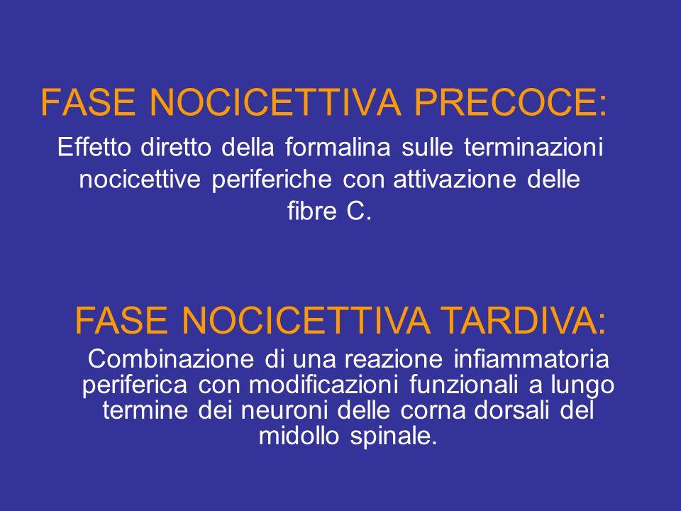 Effetto diretto della formalina sulle terminazioni nocicettive periferiche con attivazione delle fibre C. FASE NOCICETTIVA PRECOCE: FASE NOCICETTIVA T