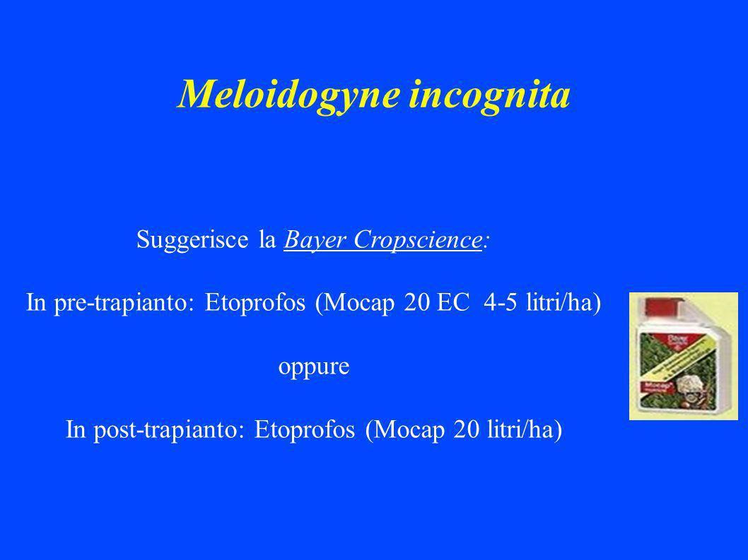 Meloidogyne incognita Suggerisce la Bayer Cropscience: In pre-trapianto: Etoprofos (Mocap 20 EC 4-5 litri/ha) oppure In post-trapianto: Etoprofos (Mocap 20 litri/ha)
