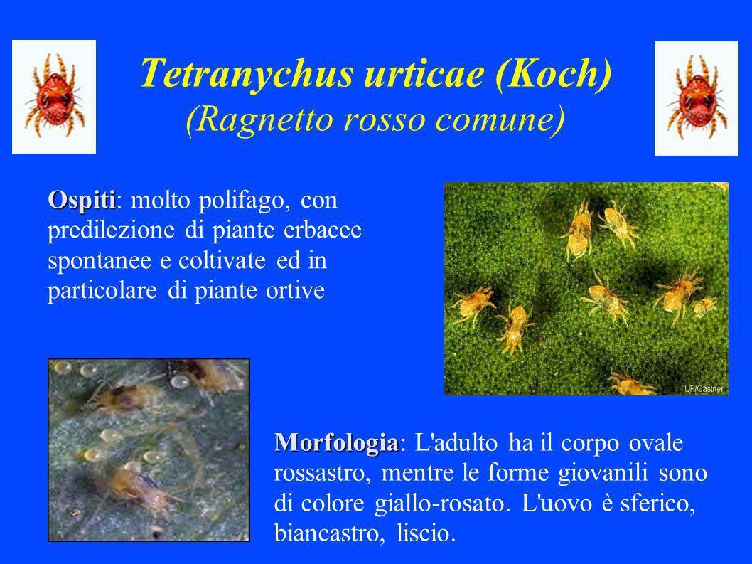 Tetranychus urticae (Koch) (Ragnetto rosso comune) Ospiti Ospiti: molto polifago, con predilezione di piante erbacee spontanee e coltivate ed in particolare di piante ortive Morfologia Morfologia: L adulto ha il corpo ovale rossastro, mentre le forme giovanili sono di colore giallo-rosato.