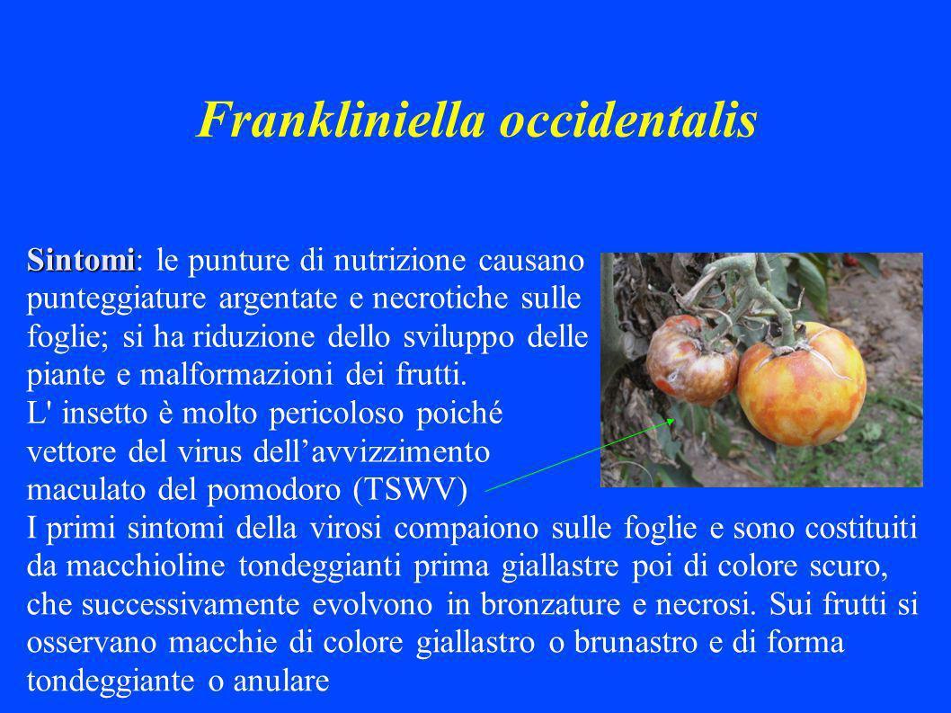 Frankliniella occidentalis Sintomi Sintomi: le punture di nutrizione causano punteggiature argentate e necrotiche sulle foglie; si ha riduzione dello sviluppo delle piante e malformazioni dei frutti.