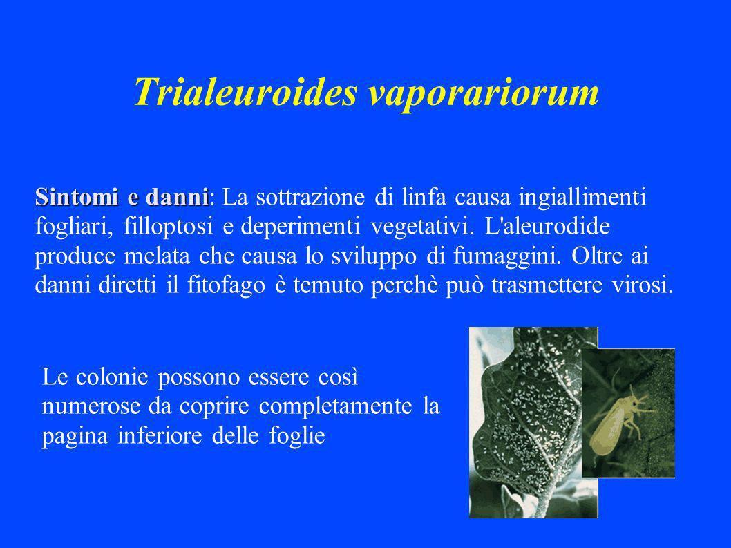 Trialeuroides vaporariorum Sintomi e danni Sintomi e danni: La sottrazione di linfa causa ingiallimenti fogliari, filloptosi e deperimenti vegetativi.