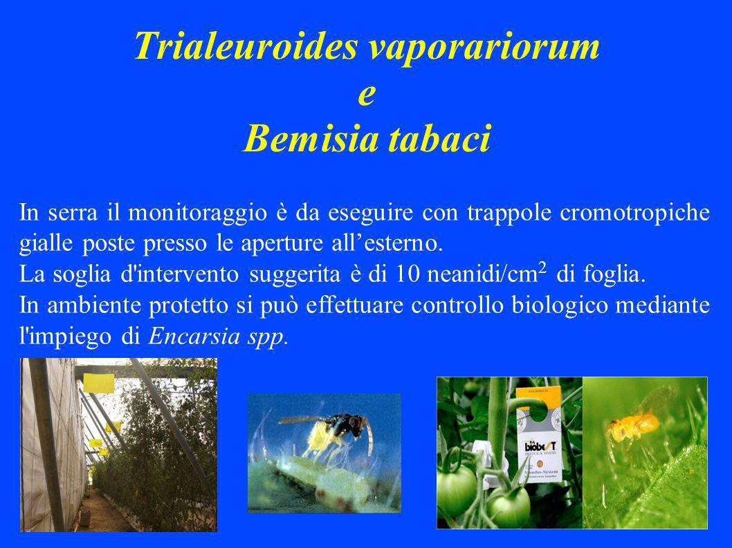 Trialeuroides vaporariorum e Bemisia tabaci In serra il monitoraggio è da eseguire con trappole cromotropiche gialle poste presso le aperture allesterno.