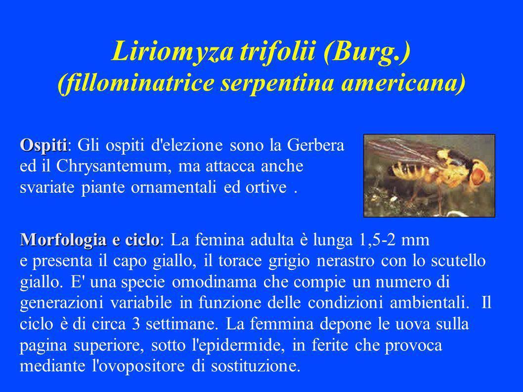 Liriomyza trifolii (Burg.) (fillominatrice serpentina americana) Ospiti Ospiti: Gli ospiti d elezione sono la Gerbera ed il Chrysantemum, ma attacca anche svariate piante ornamentali ed ortive.