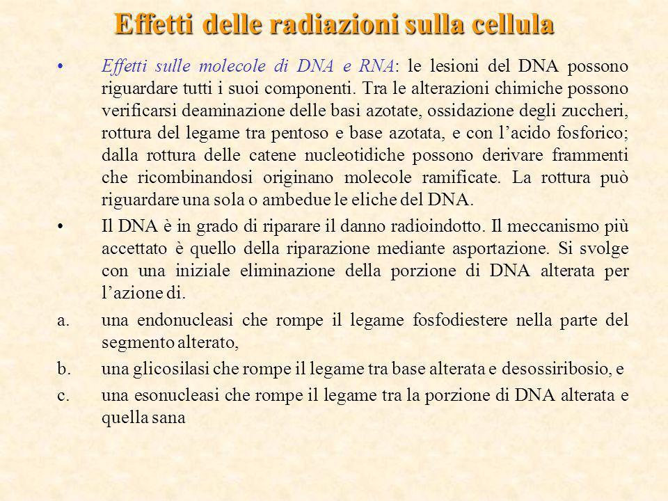 Effetti delle radiazioni sulla cellula Effetti sulle molecole di DNA e RNA: le lesioni del DNA possono riguardare tutti i suoi componenti. Tra le alte