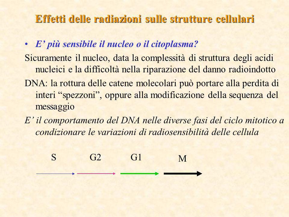 Effetti delle radiazioni sulle strutture cellulari E più sensibile il nucleo o il citoplasma? Sicuramente il nucleo, data la complessità di struttura