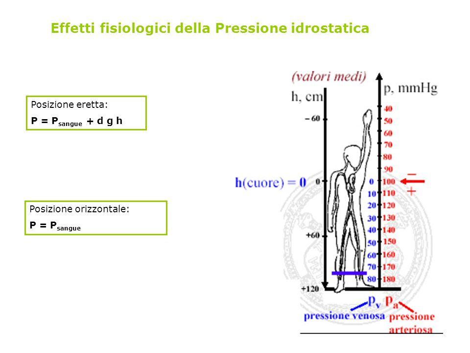Effetti fisiologici della Pressione idrostatica Posizione eretta: P = P sangue + d g h Posizione orizzontale: P = P sangue