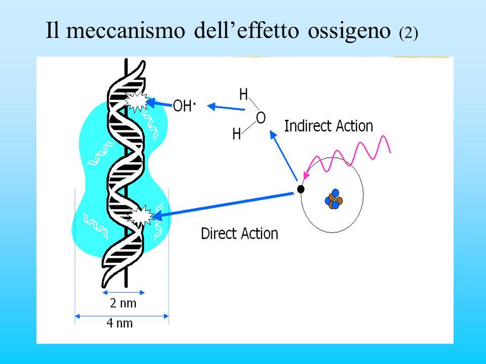 Il meccanismo delleffetto ossigeno (2)