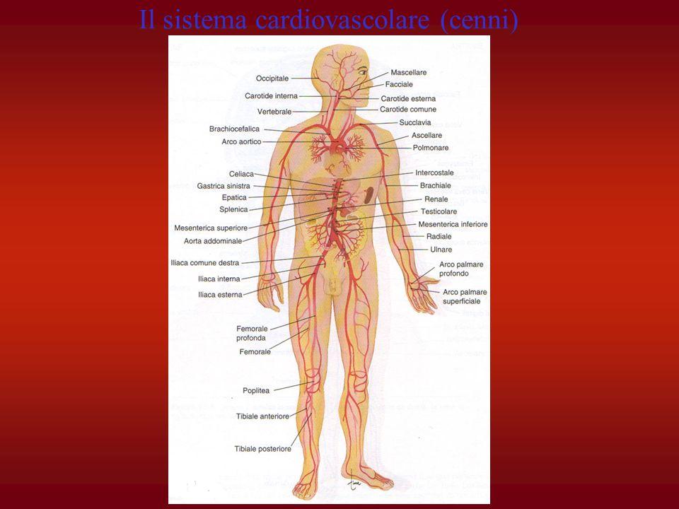 Il movimento del sangue nei vasi è mantenuto dal cuore, la cui funzione è quella di pompare nelle arterie (ad alta pressione), dopo che nei capillari sono avvenuti gli scambi con i tessuti.