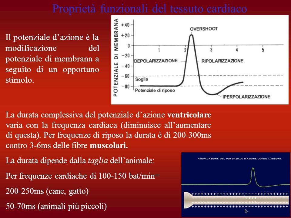 Il potenziale dazione è la modificazione del potenziale di membrana a seguito di un opportuno stimolo. La durata complessiva del potenziale dazione ve