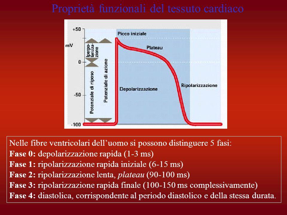 Nelle fibre ventricolari delluomo si possono distinguere 5 fasi: Fase 0: depolarizzazione rapida (1-3 ms) Fase 1: ripolarizzazione rapida iniziale (6-