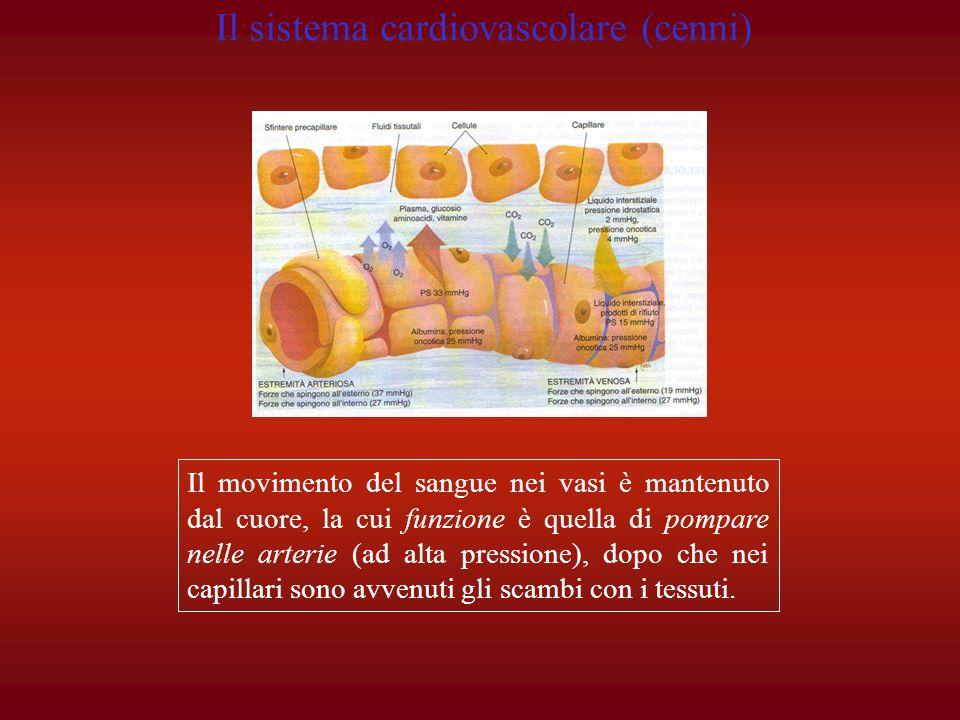 Il movimento del sangue nei vasi è mantenuto dal cuore, la cui funzione è quella di pompare nelle arterie (ad alta pressione), dopo che nei capillari