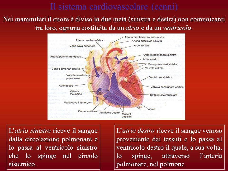 Latrio destro riceve il sangue venoso proveniente dai tessuti e lo passa al ventricolo destro il quale, a sua volta, lo spinge, attraverso larteria po