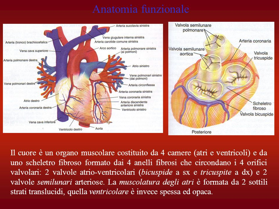 Anatomia funzionale Il cuore è un organo muscolare costituito da 4 camere (atri e ventricoli) e da uno scheletro fibroso formato dai 4 anelli fibrosi