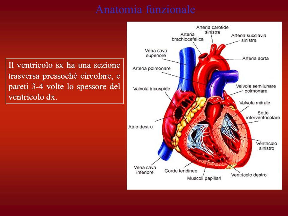 Il ventricolo sx ha una sezione trasversa pressochè circolare, e pareti 3-4 volte lo spessore del ventricolo dx. Anatomia funzionale