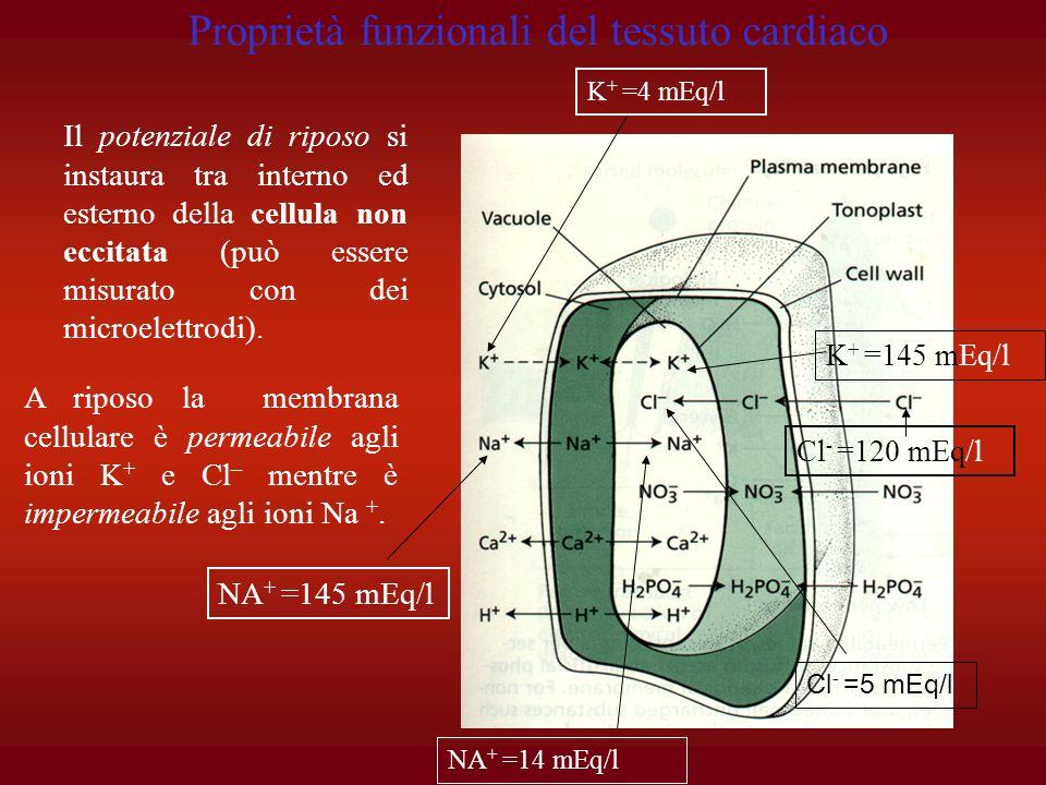 IL K + non potrebbe uscire perché: - non si può scambiare con un Na + (impermeabilità della membrana allo ione Na +, inoltre la pompa Na + - K + lo ributterebbe fuori) - non può associarsi ad un anione A - perché questo è troppo grande per passare attraverso la membrana cellulare -non può associarsi al Cl - perché varierebbe la stechiometria di questultimo allinterno della cellula, e il Cl - andrebbe contro un gradiente di concentrazione Tuttavia una parte di K + passa fuori e gli anioni interni si dispongono sulla parete mantenendo bloccati i K + subito fuori la membrana cellulare polarizzandola.
