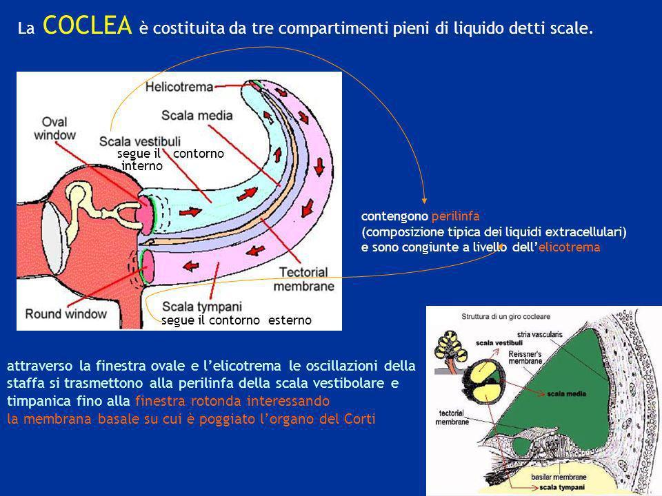 La COCLEA è costituita da tre compartimenti pieni di liquido detti scale. contengono perilinfa (composizione tipica dei liquidi extracellulari) e sono