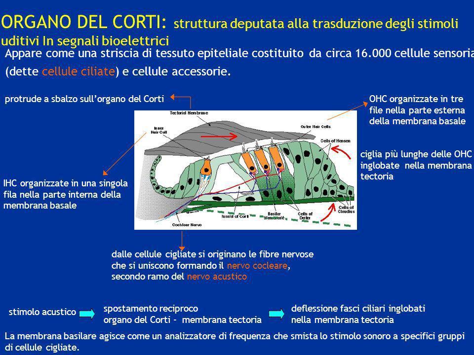 ORGANO DEL CORTI: struttura deputata alla trasduzione degli stimoli uditivi In segnali bioelettrici IHC organizzate in una singola fila nella parte in