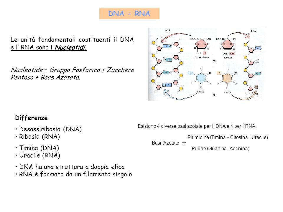 Dal DNA al Cromosoma Il compattamento dei Nucleosomi dà origine a una fibra cromatinica dal diametro di 30 nm; Unulteriore condensazione produce dei Domini ad ansa che poi spiralizzano fino a formare il Cromosoma.