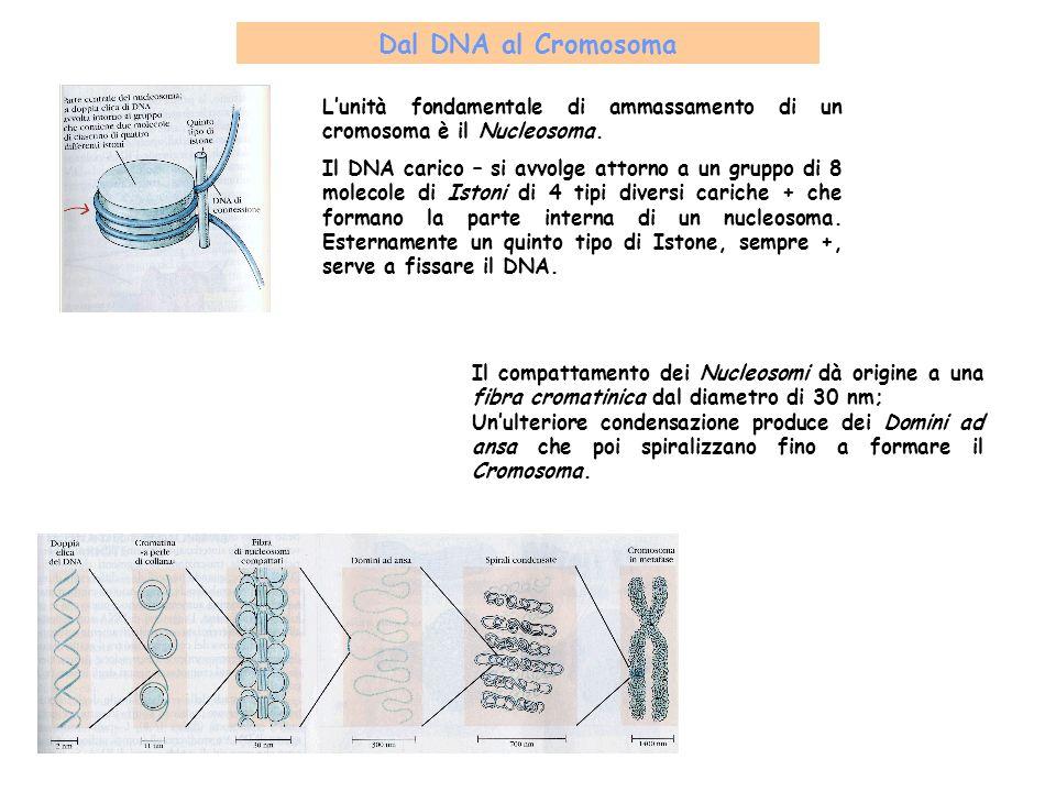 Dal DNA al Cromosoma Il compattamento dei Nucleosomi dà origine a una fibra cromatinica dal diametro di 30 nm; Unulteriore condensazione produce dei D