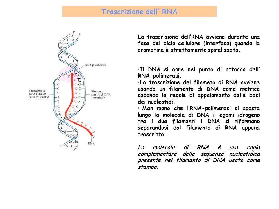 La trascrizione dellRNA avviene durante una fase del ciclo cellulare (interfase) quando la cromatina è strettamente spiralizzata. Il DNA si apre nel p