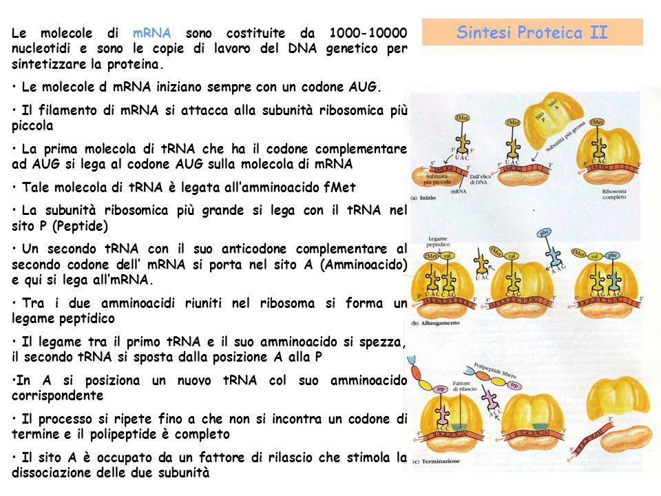 Le molecole di mRNA sono costituite da 1000-10000 nucleotidi e sono le copie di lavoro del DNA genetico per sintetizzare la proteina. Le molecole d mR
