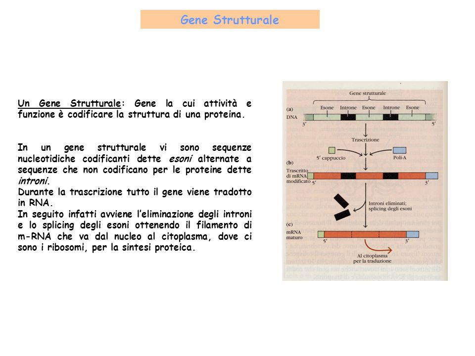 Gene Strutturale Un Gene Strutturale: Gene la cui attività e funzione è codificare la struttura di una proteina. In un gene strutturale vi sono sequen