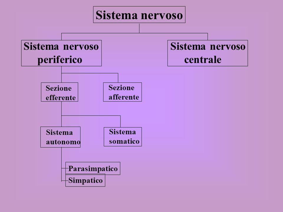 Sistema somatico Sistema volontario Le fibre efferenti somatiche sono coinvolte nellattività volontaria, come la contrazione dei muscoli scheletrici.