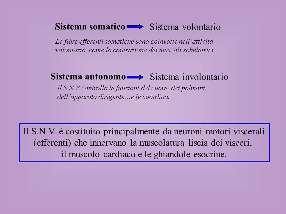 Tronco dellencefalo o midollo spinale Trasmettitore gangliare Trasmettitore neuroeffettore Organo effettore Neurone pregangliare Neurone postgangliare Il SNV trasporta gli impulsi nervosi dal SNC agli organi effettori attraverso due tipi di neuroni efferenti: