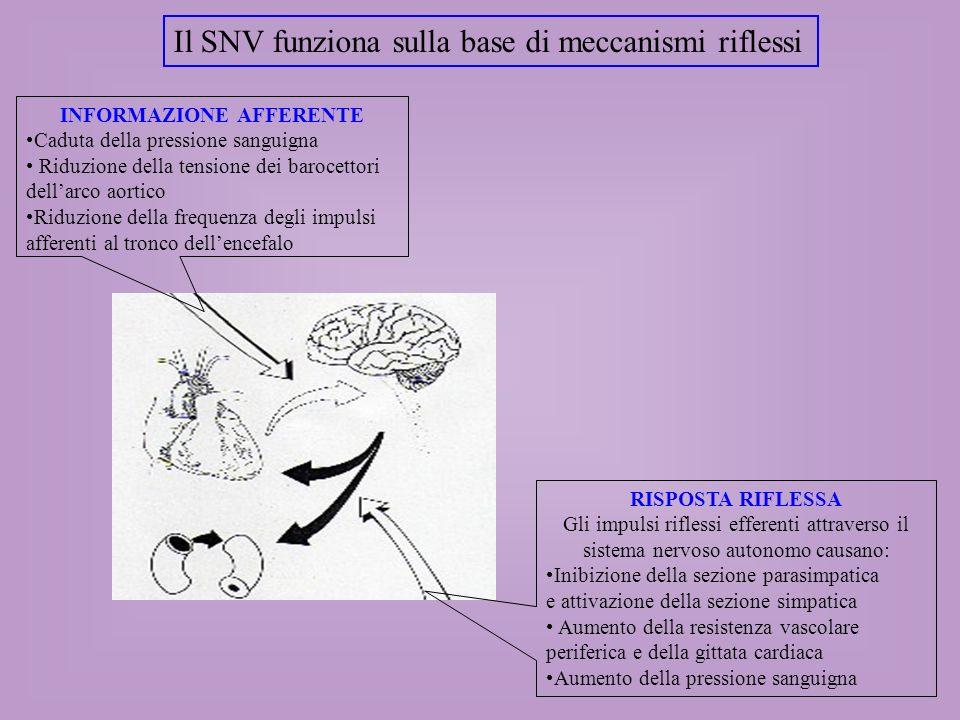 Il SNV funziona sulla base di meccanismi riflessi INFORMAZIONE AFFERENTE Caduta della pressione sanguigna Riduzione della tensione dei barocettori del