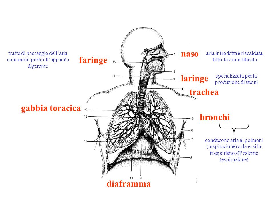 LARINGE forma a piramide triangolare tronca, con base in alto; continua In basso con la trachea scheletro cartilagineo formato da più pezzi articolati tra loro e uniti da legamenti, muscoli e membrane, che li connettono anche agli organi vicini 1.cartilagine epiglottide 5.cartilagine tiroidea 7.cartilagine cricoide 11.cartilagine aritenoide