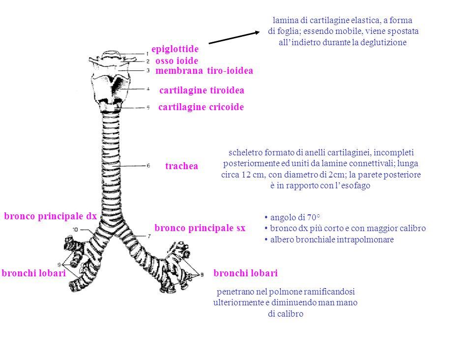 albero bronchiale intrapolmonare trachea bronco principale bronchiolo interlobulare bronchiolo intralobulare