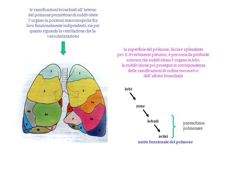 in ogni acino il bronchiolo terminale si biforca in due bronchioli respiratori o alveolari, canali che si suddividono ulteriormente e sulle cui pareti sono presenti da 60 a 120 dilatazioni sacciformi, emisferiche, attraverso cui avvengono gli scambi gassosi bronchiolo terminale ramo arteria polmonare alveoli bronchiolo respiratorio ramo vena polmonare capillari perialveolari canale alveolare