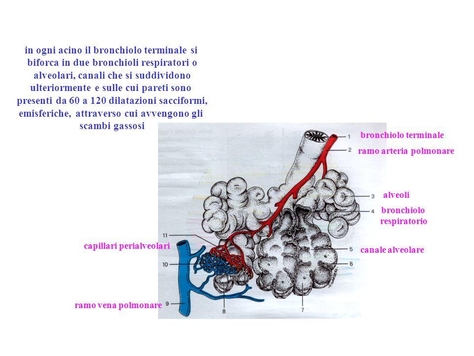 Meccanica respiratoria gli atti respiratori, in condizioni di riposo, sono automatici ed involontari: permettono di introdurre dai 7 agli 8 litri daria al minuto.