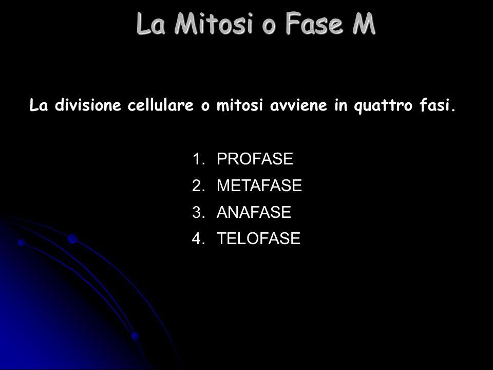 La divisione cellulare o mitosi avviene in quattro fasi. 1.PROFASE 2.METAFASE 3.ANAFASE 4.TELOFASE La Mitosi o Fase M