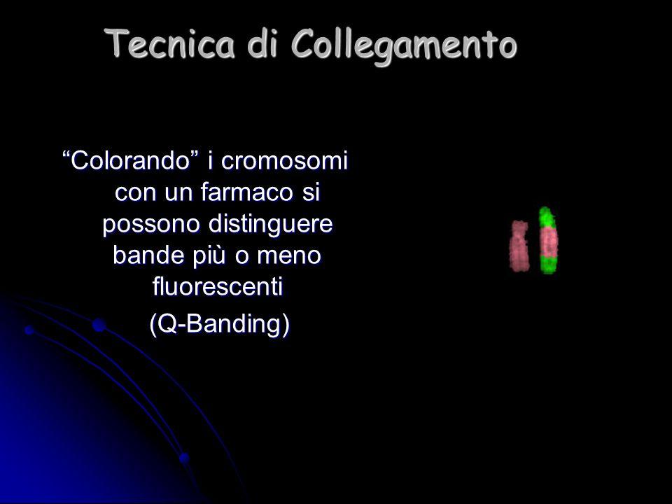 Tecnica di Collegamento Colorando i cromosomi con un farmaco si possono distinguere bande più o meno fluorescenti (Q-Banding) (Q-Banding)
