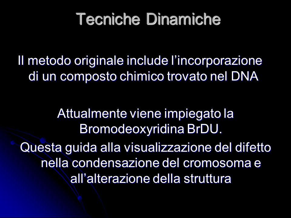 Tecniche Dinamiche Il metodo originale include lincorporazione di un composto chimico trovato nel DNA Attualmente viene impiegato la Bromodeoxyridina