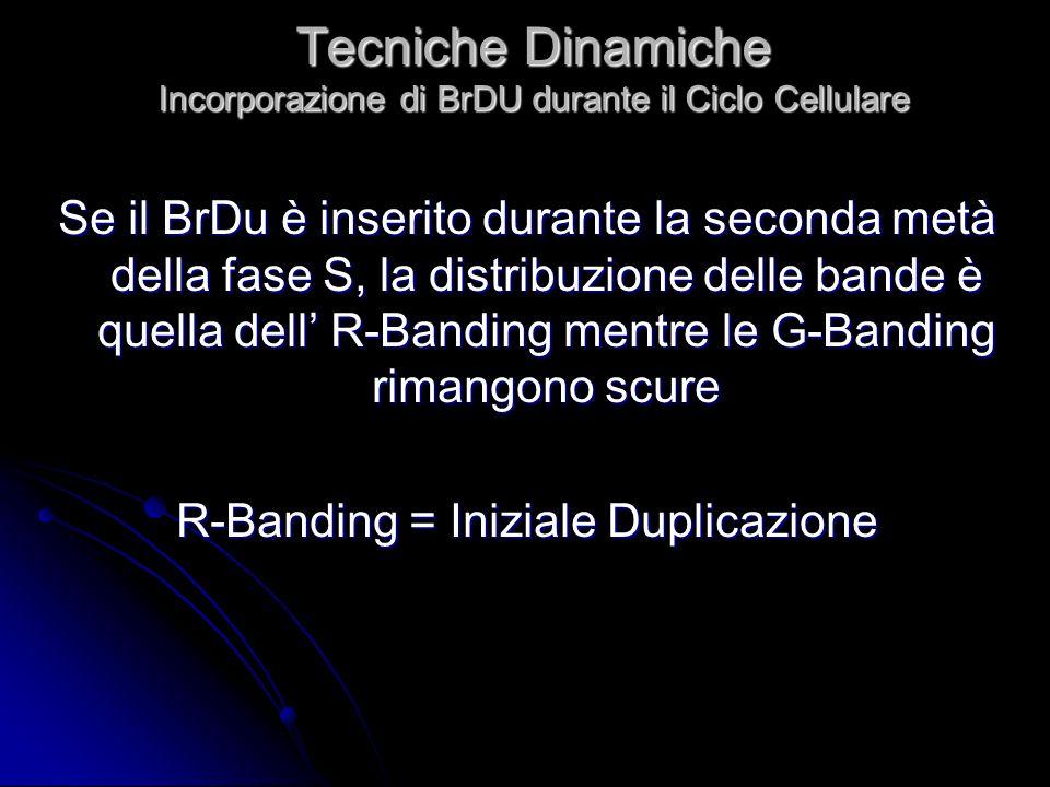 Tecniche Dinamiche Incorporazione di BrDU durante il Ciclo Cellulare Se il BrDu è inserito durante la seconda metà della fase S, la distribuzione dell