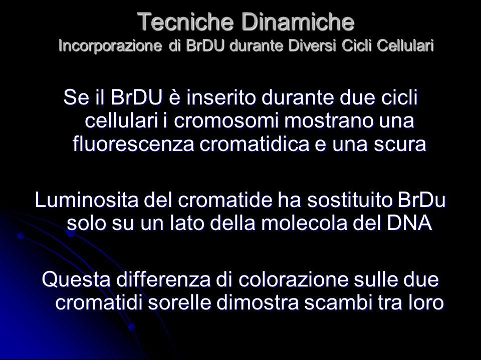 Tecniche Dinamiche Incorporazione di BrDU durante Diversi Cicli Cellulari Se il BrDU è inserito durante due cicli cellulari i cromosomi mostrano una f