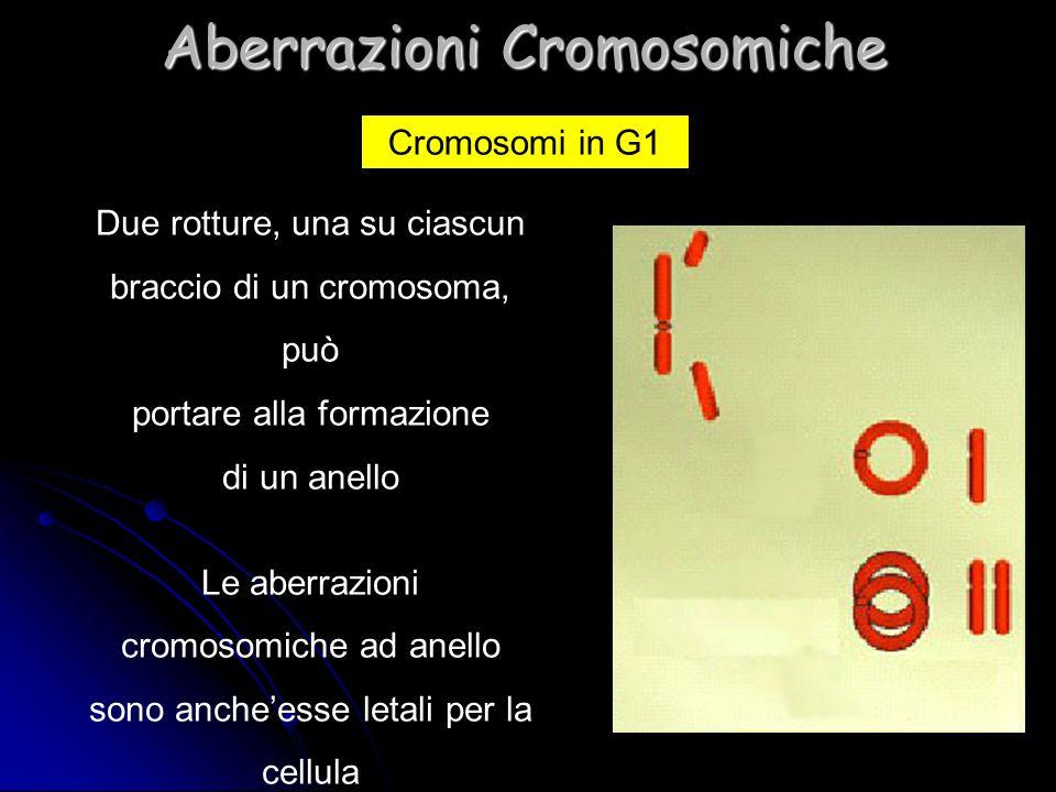Due rotture, una su ciascun braccio di un cromosoma, può portare alla formazione di un anello Le aberrazioni cromosomiche ad anello sono ancheesse let