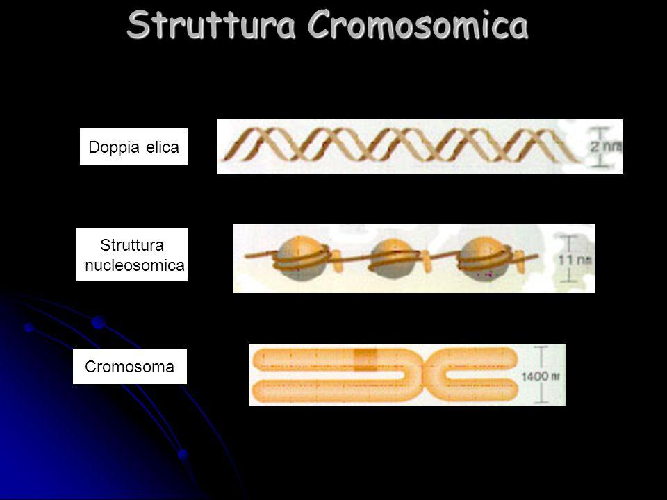 Doppia elica Struttura nucleosomica Cromosoma Struttura Cromosomica