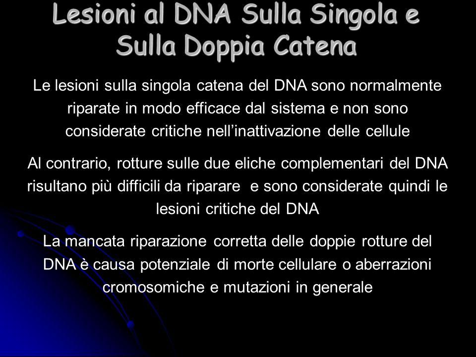Lesioni al DNA Sulla Singola e Sulla Doppia Catena Le lesioni sulla singola catena del DNA sono normalmente riparate in modo efficace dal sistema e no