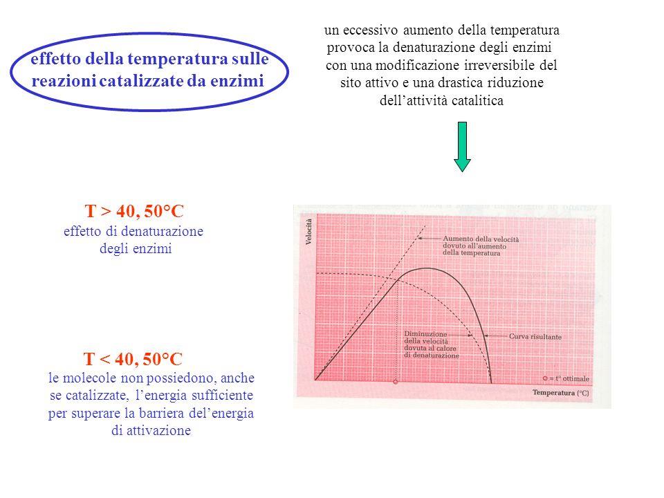 effetto della temperatura sulle reazioni catalizzate da enzimi un eccessivo aumento della temperatura provoca la denaturazione degli enzimi con una mo