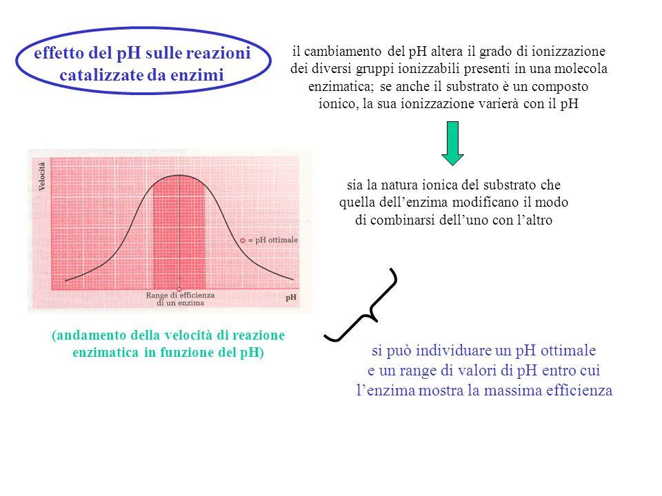 effetto del pH sulle reazioni catalizzate da enzimi il cambiamento del pH altera il grado di ionizzazione dei diversi gruppi ionizzabili presenti in u
