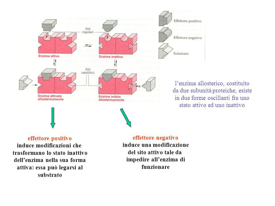 lenzima allosterico, costituito da due subunità proteiche, esiste in due forme oscillanti fra uno stato attivo ed uno inattivo effettore positivo indu