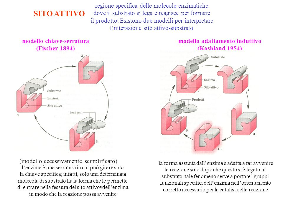 SITO ATTIVO regione specifica delle molecole enzimatiche dove il substrato si lega e reagisce per formare il prodotto. Esistono due modelli per interp