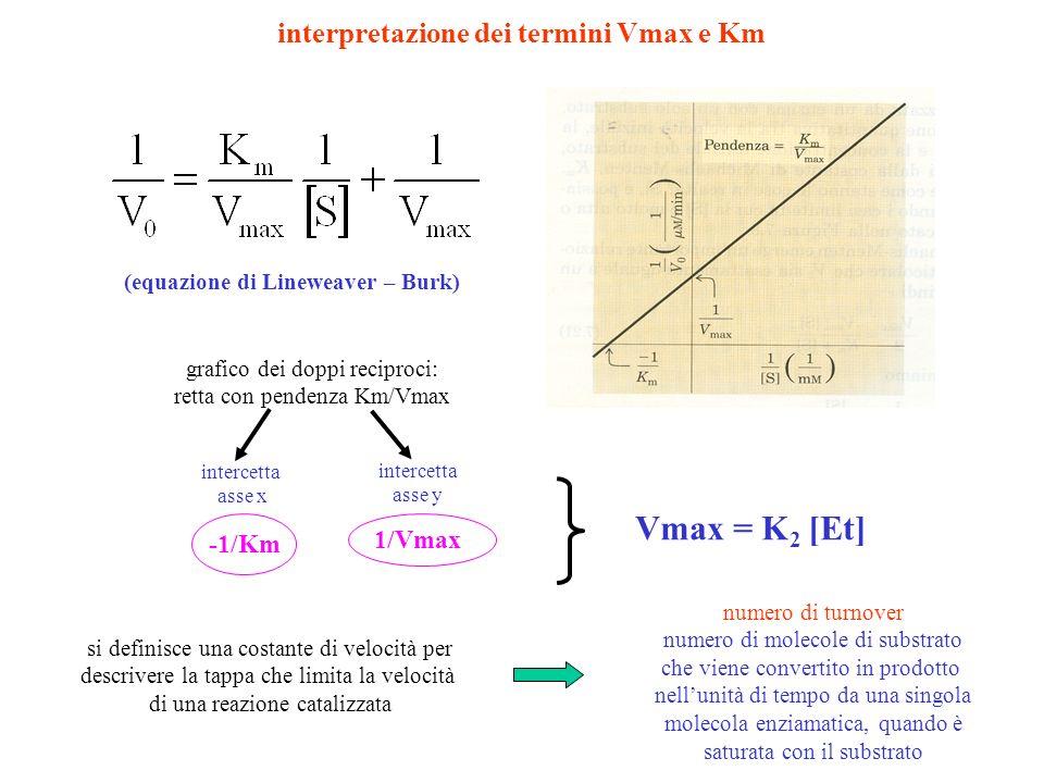 interpretazione dei termini Vmax e Km (equazione di Lineweaver – Burk) grafico dei doppi reciproci: retta con pendenza Km/Vmax intercetta asse x inter