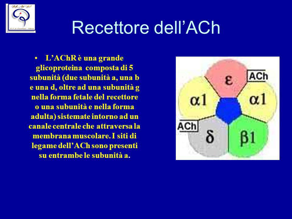 Recettore dellACh LAChR è una grande glicoproteina composta di 5 subunità (due subunità a, una b e una d, oltre ad una subunità g nella forma fetale d