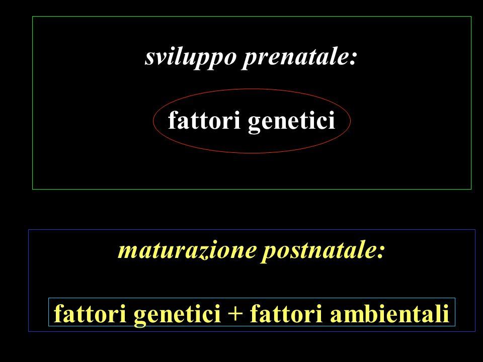 sviluppo prenatale: fattori genetici maturazione postnatale: fattori genetici + fattori ambientali